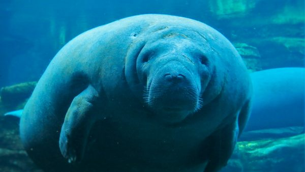 Discover Manatees